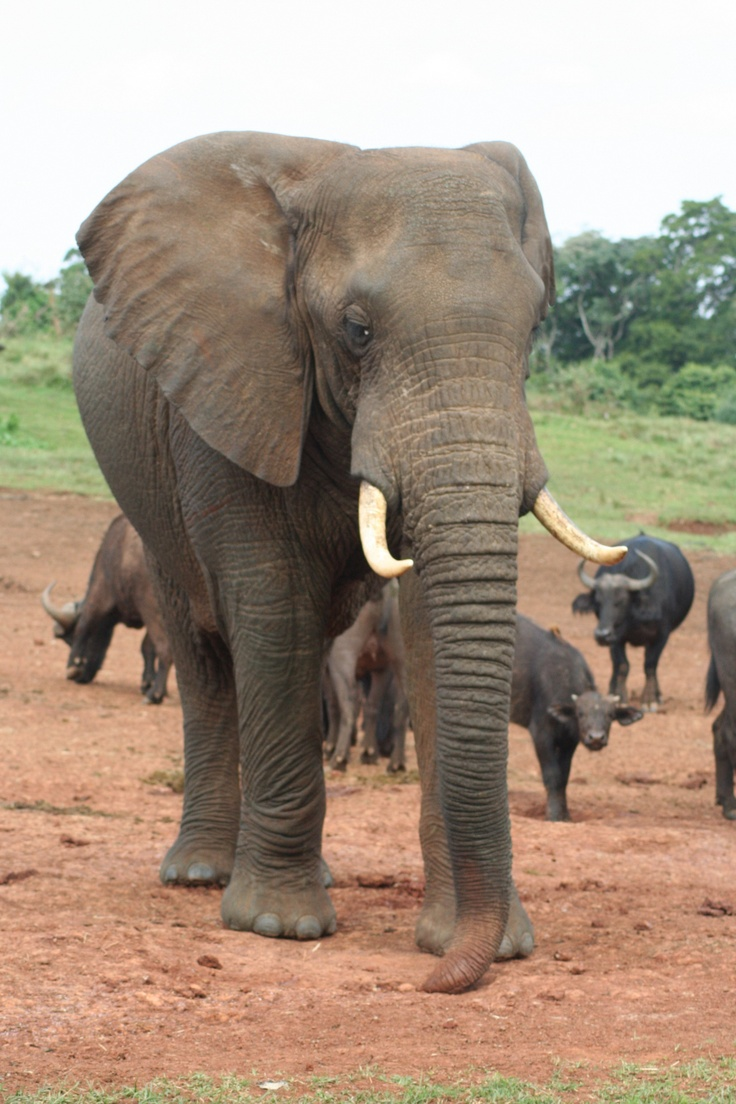 aberdareelefant