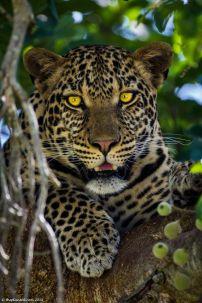 leopardomara