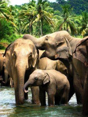 elephants pinawala