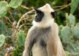 monkey yala